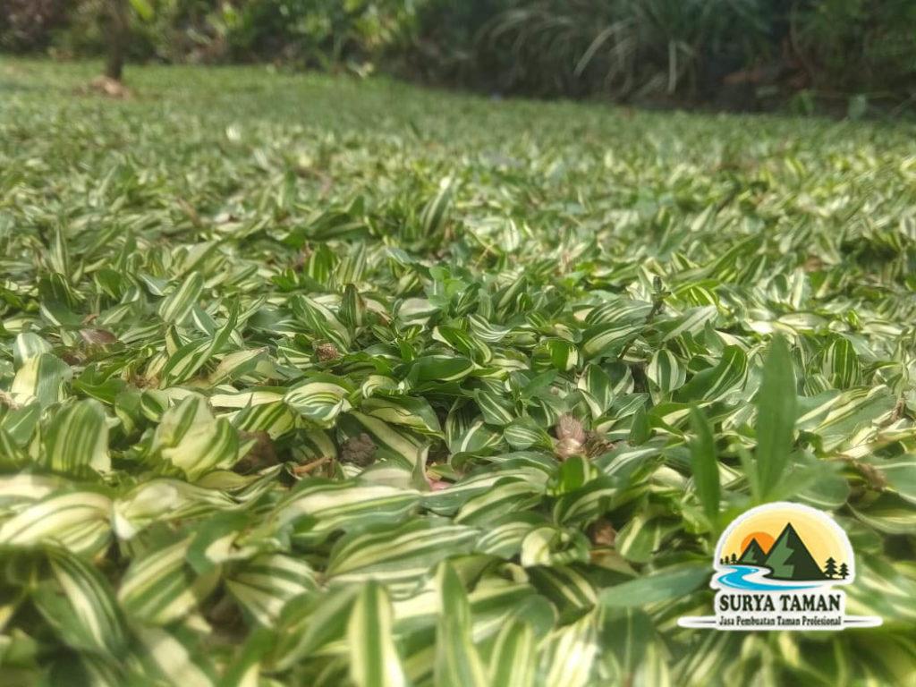 rumput gajah mini varigata